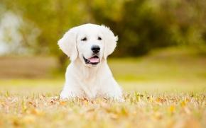 Картинка собака, лужайка, боке