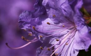 Картинка цветок, макро, сиреневый
