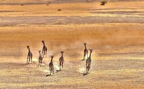 Картинка природа, фон, жирафы