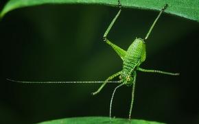 Картинка листья, макро, насекомое, кузнечик, акробат, Пластинохвост точечный