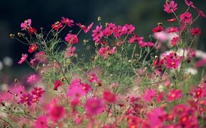 Обои цветы, макро, лето, яркие, розовые, космея, полевые