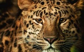 Обои морда, обои, пушистый, леопард