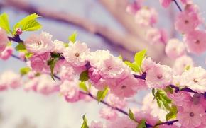 Картинка цветы, весна, лепестки, сакура, цветение, вишня.ветка