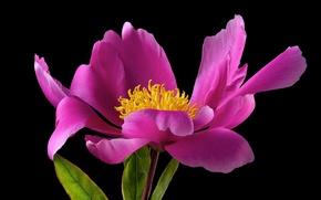 Обои природа, лепестки, листья, цветок, растение
