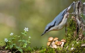 Обои опята, поползень, грибы, мох, птица