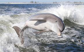 Картинка вода, брызги, дельфин, млекопитающее