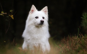 Обои фон, Белая швейцарская овчарка, собака