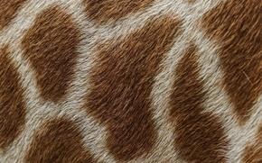 Картинка макро, текстура, шерсть, жираф, пятна, шкура, мех
