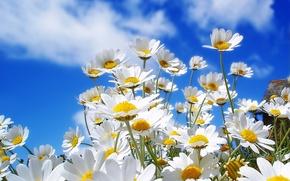 Обои цветы, небо, ромашки