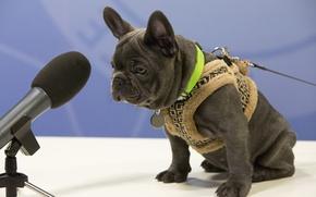 Картинка собака, бульдог, микрофон, жилетка, Французский бульдог, интервью