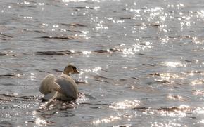 Обои волны, лебедь, блики, грация, рябь, белый, водоём