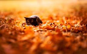 Обои фон, природа, яркие, обои, листья, цвета, черный, осень, кот
