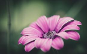 Картинка цветок, макро, фокус, лепестки, Розовый