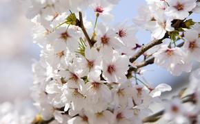 Обои Цветок яблони, белый, ветки