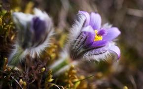 Картинка макро, цветы, природа, весна, размытость, сиреневые, Сон-трава