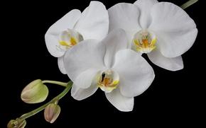 Картинка белый, ветка, орхидея