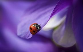 Картинка цветок, фиолетовый, божья коровка, лепестки