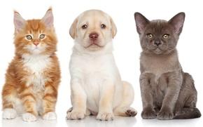 Картинка собака, котята, щенок, Лабрадор ретривер, Бурманская кошка, Мейн-кун