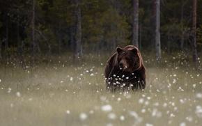 Картинка лес, цветы, поляна, мишка, бурый
