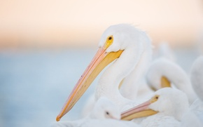 Картинка white, eye, wildlife, family, pelicans