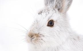 Картинка белый, усы, взгляд, кролик, мордочка