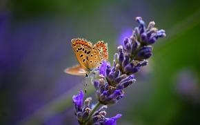 Картинка цветок, макро, природа, бабочка, растение, насекомое, лаванда