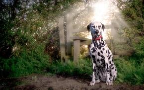 Картинка puppy, dog, dalmatian