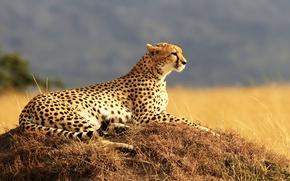 Картинка поле, трава, хищник, гепард, саванна, лежит, отдыхает, боке, пятнистый