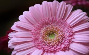 Картинка цветок, розовый, лепестки, flower, pink, petals, Гербера, gerbera