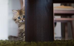 Картинка кошка, стол, Daisy, © Ben Torode