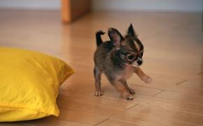 Картинка собака, щенок, той-терьер