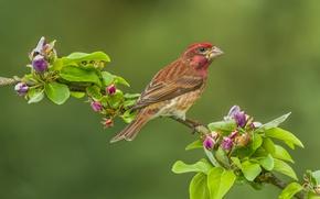 Обои яблоня, ветка, Пурпурная чечевица, фон, чечевица, птица, цветение, бутоны