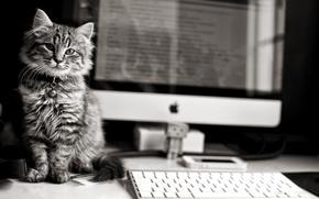 Картинка компьютер, Apple, клавиатура, котёнок