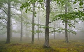 Картинка лес, деревья, природа, туман, листва, май