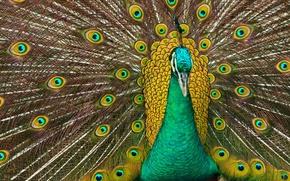 Обои перья, хвост, павлин, птица