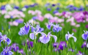 Картинка лето, цветы, ирисы
