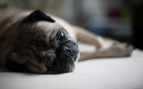 Картинка собака, мордочка, лежит, Мопс