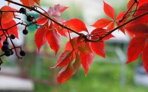 Картинка осень, листья, ягоды, Макро, лиана