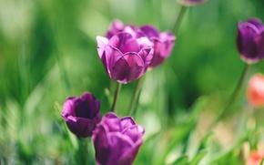 Картинка макро, цветы, тюльпаны