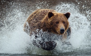 Картинка вода, капли, брызги, мокрый, медведь, мишка