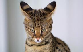 Картинка кот, хищник, окрас, уши, дикий