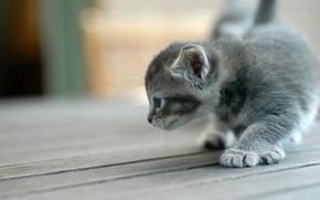 Обои котенок, серый