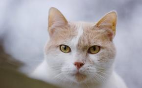 Обои кошка, взгляд, мордочка, кот