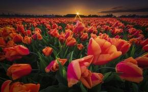 Картинка поле, закат, цветы, тюльпаны