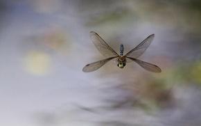 Картинка фон, стрекоза, насекомое, в полете