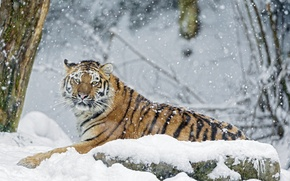 Картинка зима, снег, тигр, камень, хищник