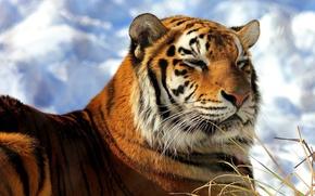 Картинка лежит, тигр, снег, амурский, морда, довольный, греется