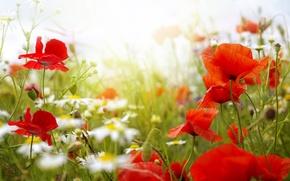 Картинка лето, цветы, маки, ромашки