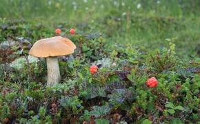Картинка гриб, морошка, сопка, Подосиновик