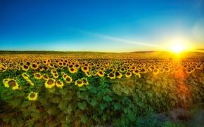 Обои солнце, 153, подсолнухи, утро